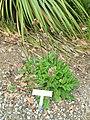 Lepechinia caulescens - University of California Botanical Garden - DSC08965.JPG