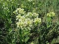 Lepidium draba flowerhead1 ST (15502226689).jpg