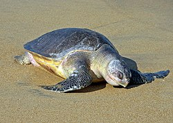 La Olive Ridley Turtle