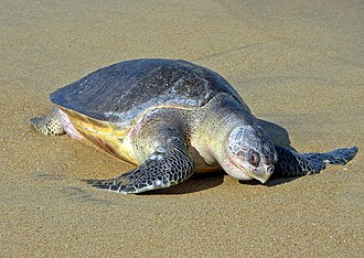 Olive ridley sea turtle - A dead olive ridley sea turtle washed ashore and bloated with decomposition gases at Gahirmatha beach, Odisha, India