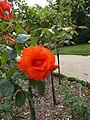 Les roses du jardin du thabor - panoramio (1).jpg