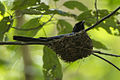 Lesser Racket-tailed Drongo at nest - Kang Kra Chan - Thailand S4E4944 (14278976543) (2).jpg