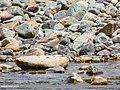 Lesser Sand Plover (Charadrius mongolus) (36955536951).jpg