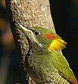 Lesser Yellownape (female).JPG