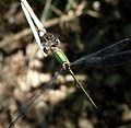 Lestes barbarus. Southern Emerald Damselfly - Flickr - gailhampshire.jpg
