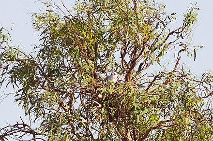 On a nest in foliage in Birdsville Track, South Australia Letter-winged Kite (Elanus scriptus)6.jpg