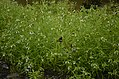 Leucas sp Sathanur, Perambalur JEG2897.jpg