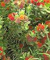 Leucospermum oleifolium tufted pincushion.jpg