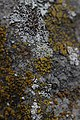 Lichen (35173883053).jpg