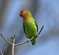 Lilian's Lovebird (Agapornis lilianae) (23710441481).jpg
