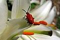 Lilioceris lilii Scarlet lily beetle.jpg