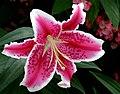 Lilium Oriental hybrid -- Lilium orientalis - 'Stargazer'.jpg