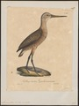 Limosa fedoa - 1825-1834 - Print - Iconographia Zoologica - Special Collections University of Amsterdam - UBA01 IZ17400027.tif