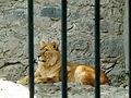 Lion 22 (1).jpg