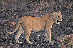 Lioness yawn mikumi.jpg