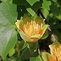 Liriodendron tulipifera tulip close.jpg