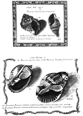 Conchology - A plate from Lister's book, showing what he calls buccinis shells