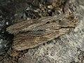 Lithophane socia - Pale pinion - Коровая совка жёлто-бурая (41086726382).jpg