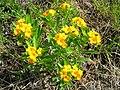 Lithospermum canescens 2 (5097326167).jpg