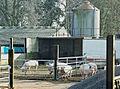 Livestock at Penleigh Farm - geograph.org.uk - 708398.jpg