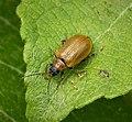 Lochmaea caprea. Willow Leaf Beetle (49227234023).jpg