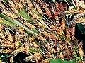 Locusts feeding.jpg