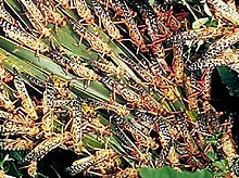 220px-Locusts_feeding.jpg