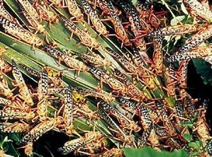 Desert locusts feeding.