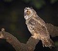 Long-eared owl (32424961068).jpg