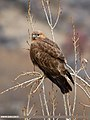 Long-legged Buzzard (Buteo rufinus) (33448311654).jpg