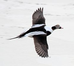 Long-tailed Duck (Clangula hyemalis).jpg