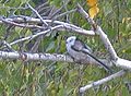 Long-tailed Tit.jpg
