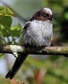 Long-tailed tit (Aegithalos caudatus) juvenile cr.jpg