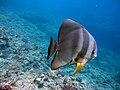 Longfin batfish.jpg
