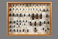 Longicornes Capricornes-1131.jpg