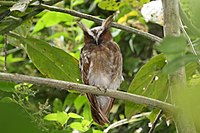 Lophostrix cristata -Panama-8