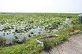 Lotus field in Namegata, Ibaraki 02.jpg