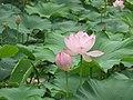Lotuses (28819532561).jpg