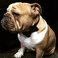 Louis the Bulldog.jpg