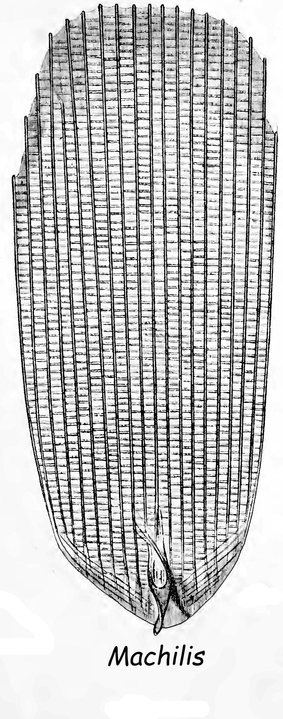 Lubbock Machilis Scale p0437P