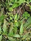 Ludwigia hyssopifolia1