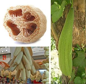 Luffa aegyptiaca - Egyptian luffa fruit