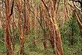 Luma apiculata Arrayanes by Nestor Galina.jpg