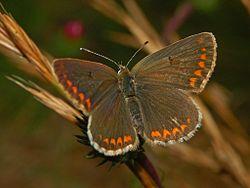 Lycaenidae - Aricia agestis-1.JPG