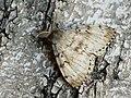 Lymantria dispar ♂ - Gypsy moth (male) - Непарный шелкопряд (самец) (27003550268).jpg