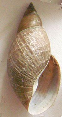 Limnées ou Escargot dans ESCARGOT 200px-Lymnaea_sp