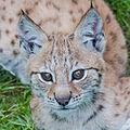 Lynx baby (14955458790).jpg
