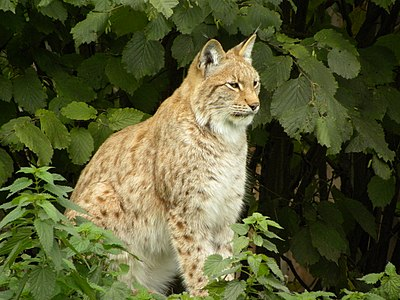 The Eurasian lynx (Lynx lynx) is a medium-sized cat native to European and Siberian forests, where it is one of the predators.