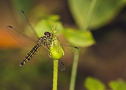 Lyriothemis acigastra female at Kadavoor.jpg