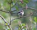Mésange à longue queue (juvénile) Aegithalos caudatus (50026495782).jpg
